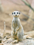 Meerkat standing on lookout Stock Image