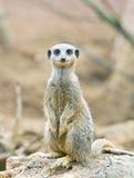 Meerkat standing on lookout Stock Image