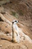 Meerkat standing. Meerkat standing on the stone royalty free stock image