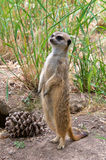Meerkat standing next to pine cone in tall grass Stock Image