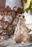 Meerkat standing over stump and looking a survey for drove. Suricata suricatta or suricate is a small carnivoran royalty free stock image