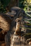Meerkat standing on a piece of bark. And looking to the side stock images
