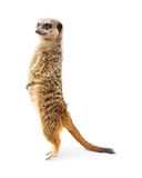 Meerkat Standing Profile Isolated. Cute meerkat standing up tall on toes. Isolated on white royalty free stock photography