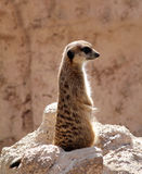 Meerkat standing on rock Stock Image