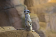Meerkat 2. Meerkat standing on a rock Royalty Free Stock Photo
