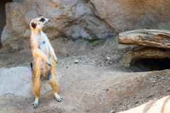 Meerkat standing on the rock looking off to its left stock photos