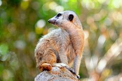 Meerkat standing on a rock. Stock Photos