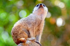 Meerkat standing on a rock. Stock Photography