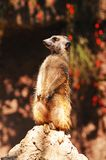 Meerkat standing on a rock. Stock Images