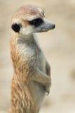 Meerkat Royalty Free Stock Image