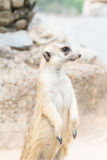 Meerkat standing on the sand Stock Image