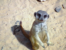 Meerkat standing on sand Royalty Free Stock Photos