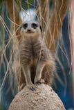 Meerkat Standing on sentry duty Royalty Free Stock Image