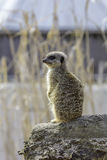 Meerkat standing on sentry duty, Selective focus against blurred Stock Image
