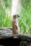 Meerkat. Standing on the stone Stock Image