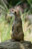Meerkat. Standing on the stone Stock Image