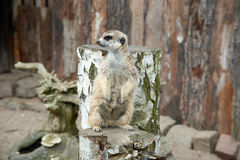 Meerkat standing on stump Stock Images