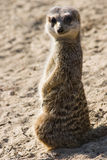 Meerkat standing in sunshine Stock Photo