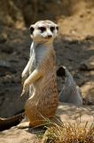 Meerkat Standing to Attention. Photograph of a meerkat stood up looking over his shoulder Royalty Free Stock Image