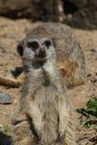 Meerkat portrait. Meerkat standing to attention Stock Image