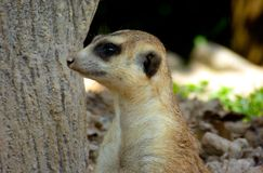 A Meerkat standing by a tree Royalty Free Stock Photography