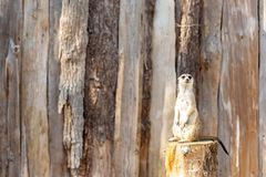 Meerkat standing on a tree stump looking into the camera stock photography