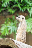 Meerkat. Standing up on a log Royalty Free Stock Photos