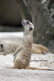 Meerkat Standing Up Stock Photo