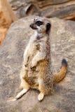 Meerkat standing up straight Stock Photo