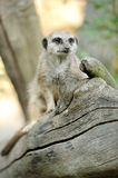 A meerkat standing uprigh Stock Images