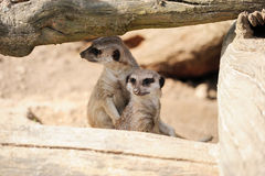 Meerkat Royalty Free Stock Photography
