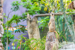 A meerkat standing upright and looking alert. Royalty Free Stock Image