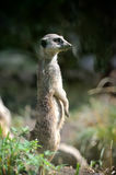 Meerkat standing upright Royalty Free Stock Photo