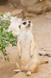 Meerkat  Standing  upright to guard Royalty Free Stock Image