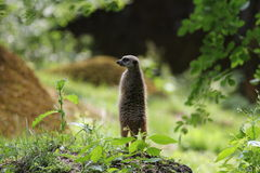 Meerkat standing watch Stock Images