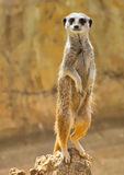 Meerkat or  standing on the wooden stump Stock Images