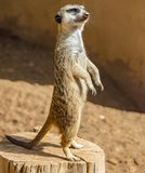 Meerkat standing on a wooden trunk at daytime in summer royalty free stock photography