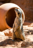 Meerkat stands guard Royalty Free Stock Photo