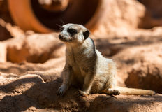 Meerkat stands guard Royalty Free Stock Photography