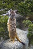 Meerkat stands on its hind legs and looks up stock image