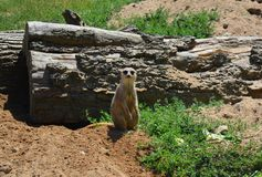 Meerkat stands and looks at the camera royalty free stock images