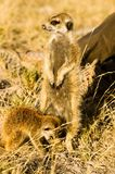 Two Meerkats in Botswana. A meerkat stands by a tourist`s leg in Botswana.  One standing while one looks for food in the dirt Stock Photo