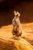 Meerkat Stands Upright Stock Photos