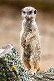Meerkat stands on wood Royalty Free Stock Image