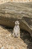 Meerkat. Stanging next to wooden trunk staring ahead Stock Photos