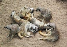 Meerkat-Stapel II Lizenzfreie Stockfotos