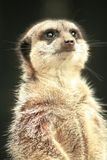 Meerkat staring up. Into the air Royalty Free Stock Photos