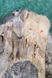 Meerkat steht auf einem Baum stockfotos