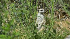 Meerkat steht umgab durch andere meerkats stock video footage