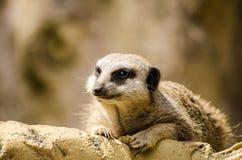 Meerkat stellen den einzelnen Mungo gegenüber, der horizontales allein legt Lizenzfreie Stockfotografie
